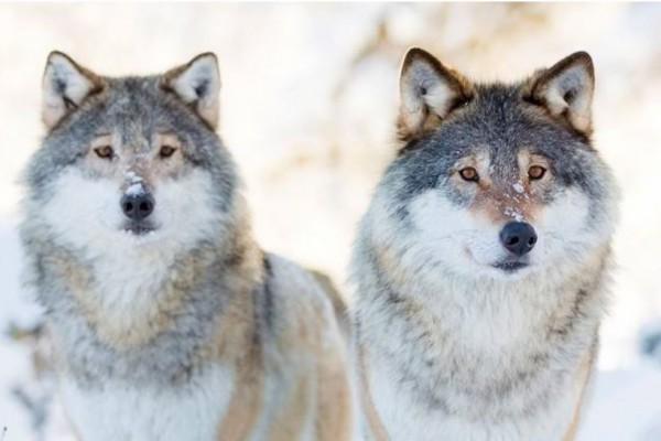 Esperanzas para el futuro del lobo