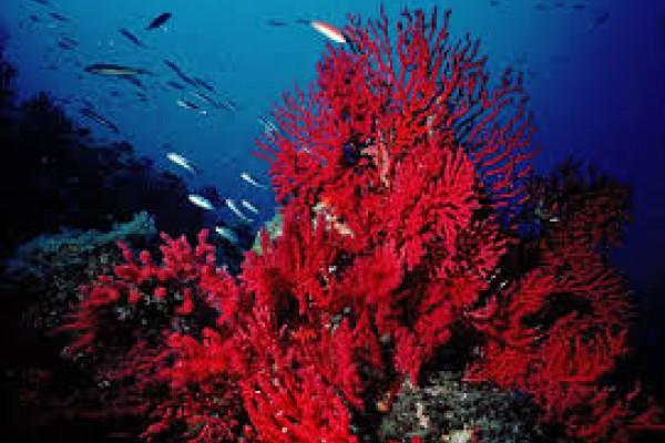 Decomisado coral rojo extraído ilegalmente en el Cap de Creus (Girona)