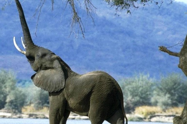 La extinción de los elefantes afectará a la crisis climática