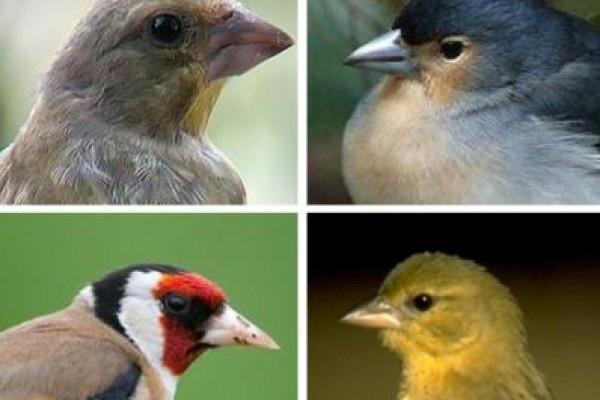 "Fringílidos: La Generalitat no autoriza la captura de ""pájaros cantores"""