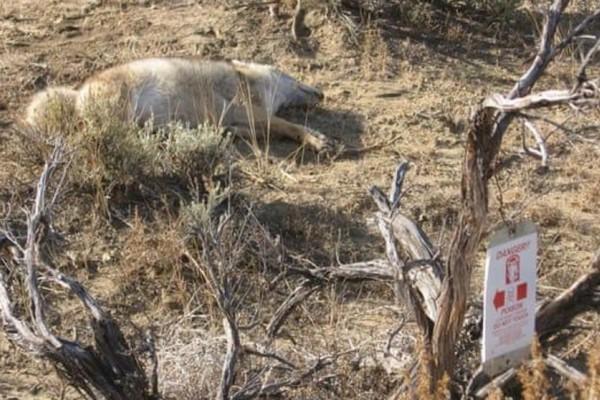 Bombas de cianuro para cazar fauna silvestre, la nueva polémica ambiental de Donald Trump
