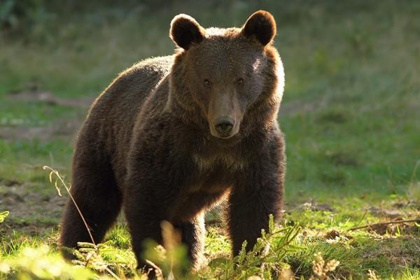 Prohibido cazar osos en Yellowstone: revés judicial a las políticas de permisividad alentadas por Trump