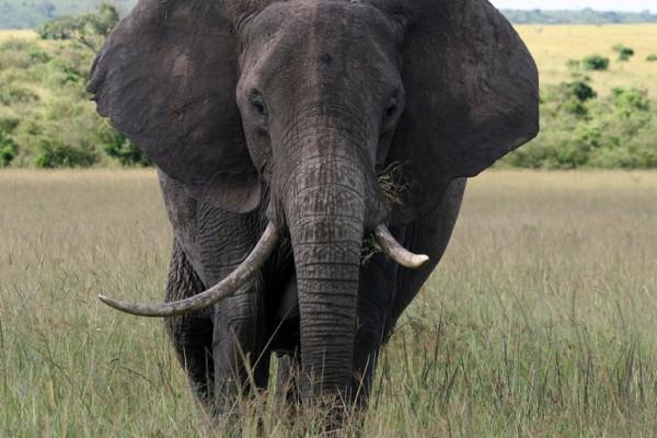 """Nueva """"Masacre de elefantes"""" en África"""