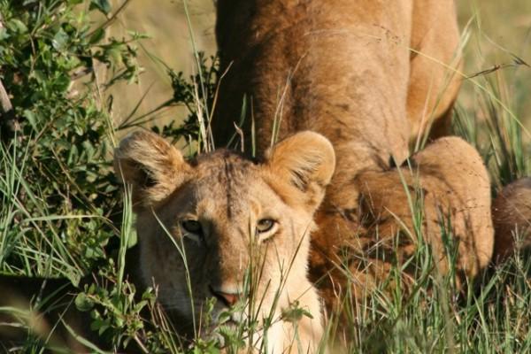 """Campaña internacional contra la caza """"enlatada"""" de leones"""