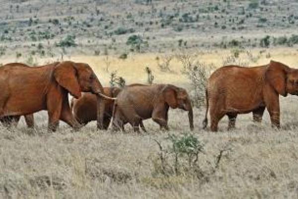 Elefantes huérfanos de la caza furtiva