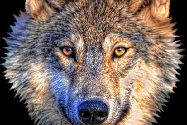 Cabezas disecadas de lobo en IFEMA