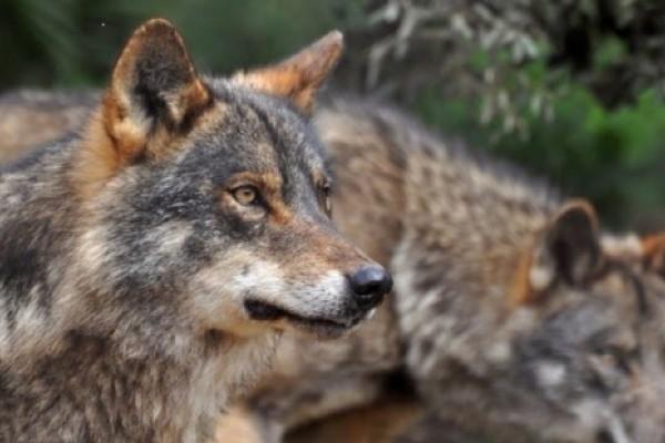 Juicio por la caza de lobos durante una montería