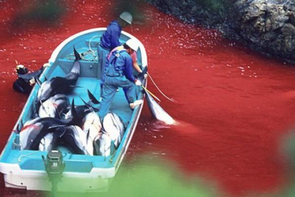 Un año más, se repite la sangrienta caza de delfines en Taiji (Japón)