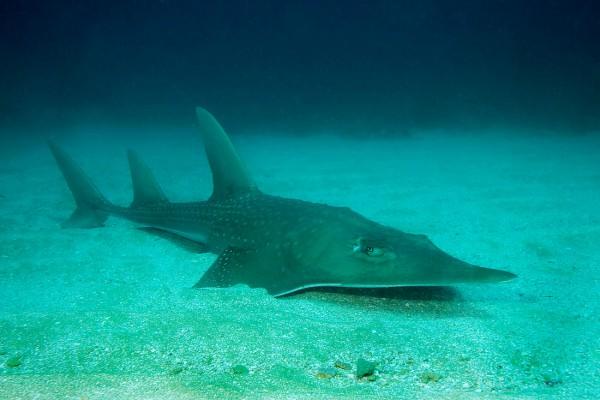Las rayas son los peces más amenazados del mundo debido a la sobrepesca