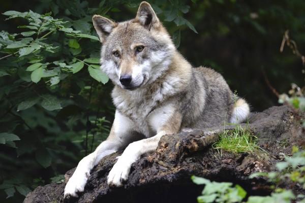Condenados los dos cazadores que mataron un lobo en una cacería en Avila el 2015