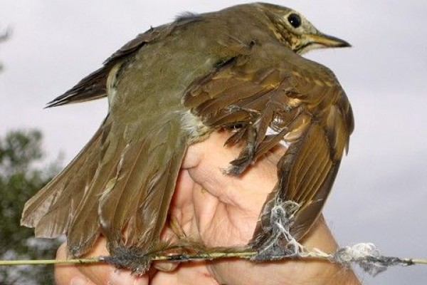 Caza de aves con pegamento: la Fiscalia de Medio Ambiente se enfrenta al Supremo
